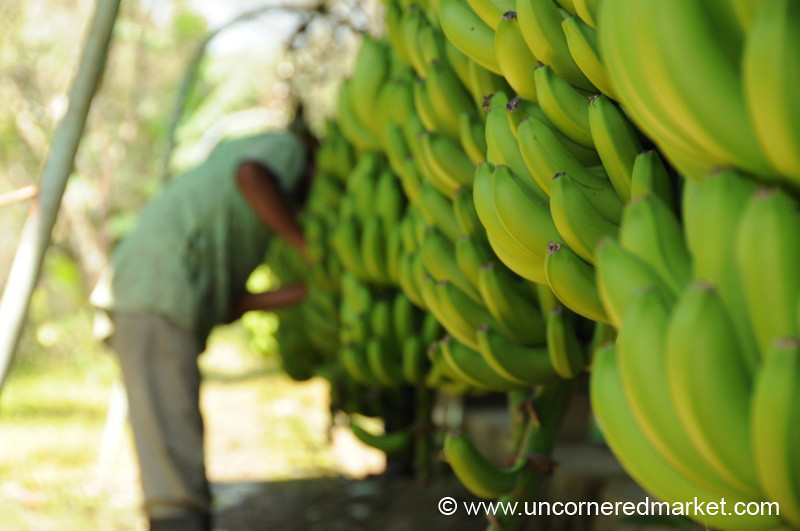Banana Production Line - Chapare, Bolivia