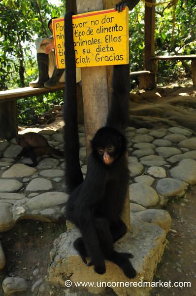 Spider Monkey - Chapare, Bolivia