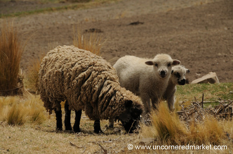 Mother and Ewes - Lake Titicaca, Bolivia