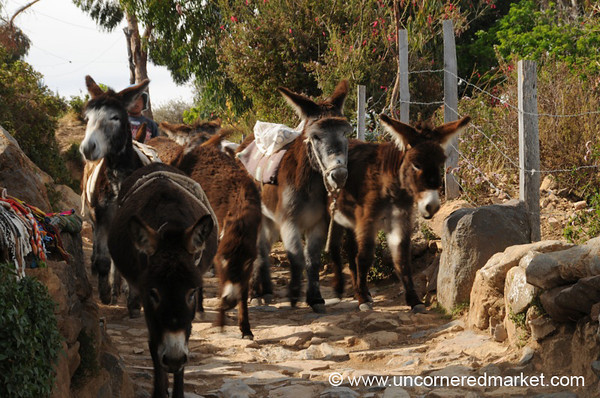 Group of Donkeys - Isla del Sol, Lake Titicaca, Bolivia