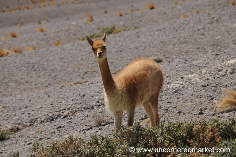 Who? Vicuna. - Salar Tour, Bolivia