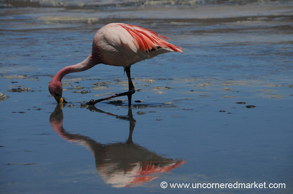 Flamingo Sip - Salar Tour, Bolivia