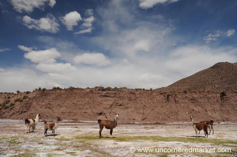 Llamas! - Salar Tour, Bolivia