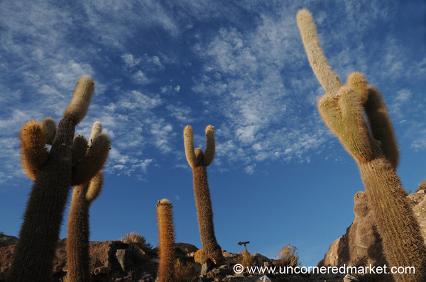 Finger Cactus Celebration - Isla Del Pescado