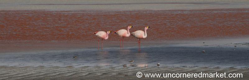 Flamingo Laguna Colorado - Salar Tour, Bolivia