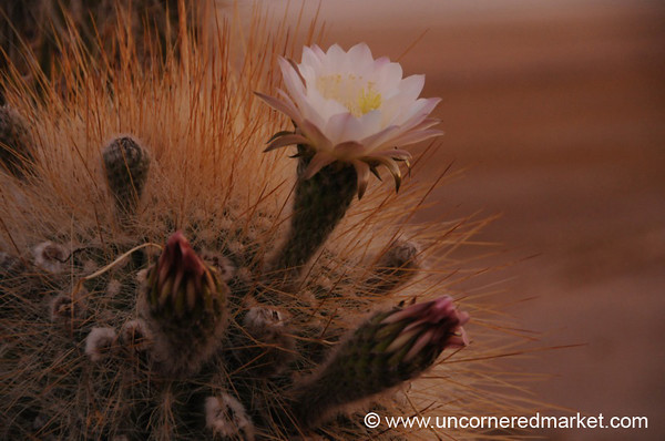 Cactus Flower Sunset