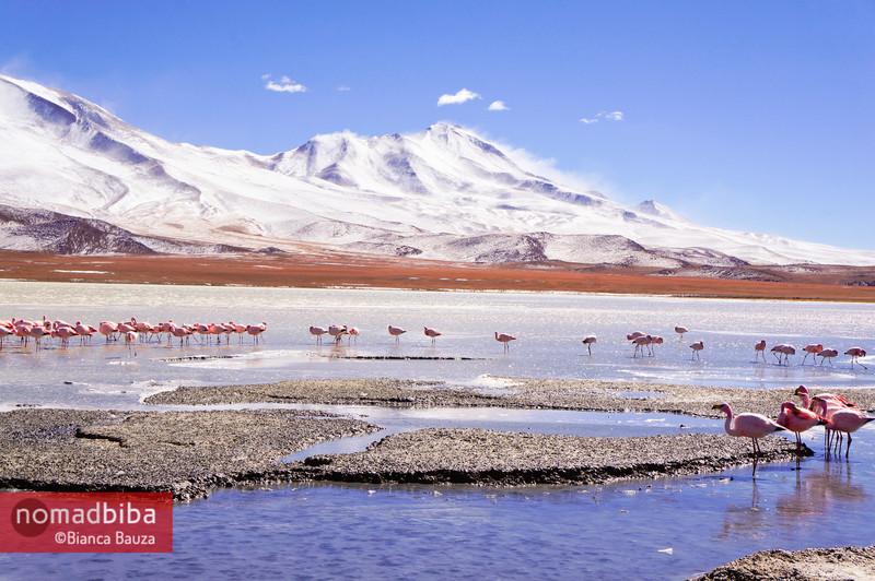 Salar de Uyuni: Flamingoes in Laguna Hedionda, Bolivia