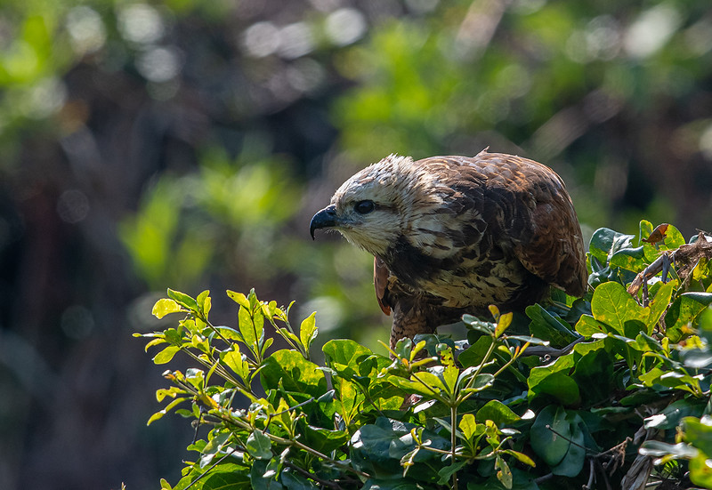 Black-collard Hawk (Busarellus nigricolis) Pantanal, Brasil