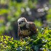 Black-collard Hawk (Busarellus nigricolis)<br /> Pantanal, Brasil