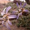 Pa 2890 Perezia recurvata patagonica