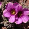 Pa 3658 Oxalis laciniata pubescens