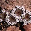 Pa 4169 Viola sacculus