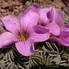Pa 3665 Oxalis laciniata pubescens