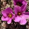 Pa 3660 Oxalis laciniata pubescens
