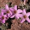 Pa 3662 Oxalis laciniata pubescens