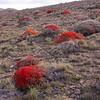 Pa 3044 Anarthrophyllum desideratum