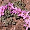Pa 3661 Oxalis laciniata pubescens