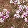 Pa 2900 Junellia thymifolia