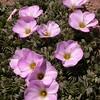 Pa 3667 Oxalis adenophylla
