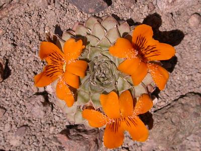 Pa 4066 Viola auricolor
