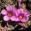 Pa 3654 Oxalis laciniata pubescens