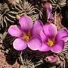 Pa 3655 Oxalis laciniata pubescens