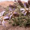 Pa 2889 Perezia recurvata patagonica
