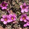 Pa 3653 Oxalis laciniata pubescens