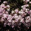 Pa 4332 Junellia thymifolia