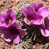 Pa 3657 Oxalis laciniata pubescens