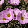 Pa 3668 Oxalis adenophylla