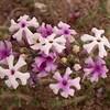 Pa 2901 Junellia thymifolia