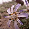 Pa 2891 Perezia recurvata patagonica