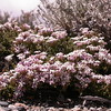Pa 4331 Junellia thymifolia