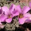 Pa 3664 Oxalis laciniata pubescens