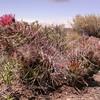 Pa 4342 Austrocactus bertinii