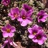 Pa 3652 Oxalis laciniata pubescens