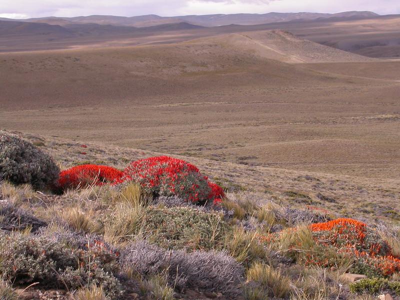 Pa 3033 Anarthrophyllum desideratum