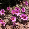 Pa 3650 Oxalis laciniata pubescens