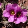 Pa 3659 Oxalis laciniata pubescens