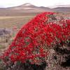 Pa 3028 Anarthrophyllum desideratum