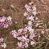 Pa 2899 Junellia thymifolia