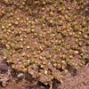 Pa 2904 Philippiella patagonica