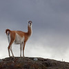 dark sky with guanaco