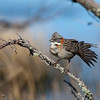 chingolo rufous collared sparrow
