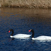 two Chilean swans