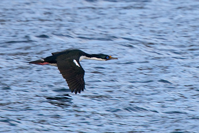 blue-eyed cormorant in flight