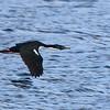 blue-eyed cormorant in flight
