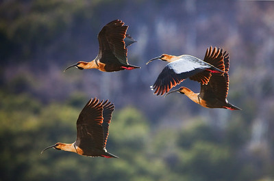 buff-necked ibises in flight