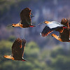 buff-necked ibises in flight
